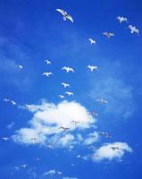 カモメとわた雲