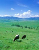 牧草を食むホルスタインのペア