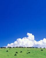 黒毛和牛と入道雲