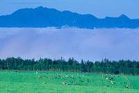 ホルスタインと芦別岳と朝の雲海