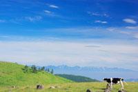 鳴くホルスタインと白馬岳