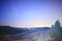 トウカイザクラなどの桜林と梅林と天の川