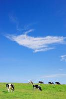 ホルスタインとすじ雲 22320023053| 写真素材・ストックフォト・画像・イラスト素材|アマナイメージズ