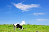 ホルスタインとすじ雲 22320023063| 写真素材・ストックフォト・画像・イラスト素材|アマナイメージズ