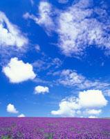ラベンダー畑とわた雲