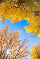 紅葉のイチョウ林と木もれ日