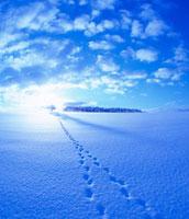 キタキツネの足跡と雪原と木立