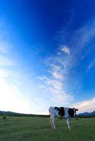 ホルスタインと朝の菅平高原牧場