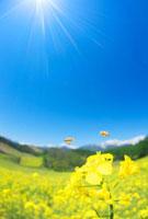 菜の花畑とミツバチと鹿島槍ヶ岳 22320027725| 写真素材・ストックフォト・画像・イラスト素材|アマナイメージズ
