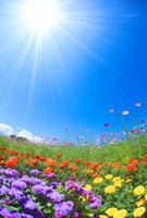 コスモスとマリーゴールドの花畑