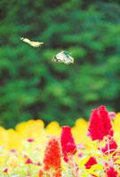 モンキチョウとケイトウの花畑