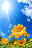ヒマワリ畑と太陽