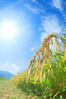 コシヒカリの稲穂と太陽 22320028712| 写真素材・ストックフォト・画像・イラスト素材|アマナイメージズ