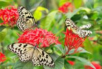 花に群がるオオゴマダラ 22320028929| 写真素材・ストックフォト・画像・イラスト素材|アマナイメージズ