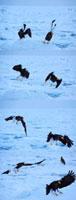 オオワシの飛び立つ瞬間と流氷