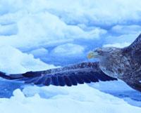 オジロワシと流氷