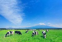 ホルスタインと富士山