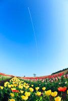 チューリップ畑と木立と飛行機雲