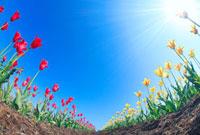 チューリップ畑と太陽の光芒