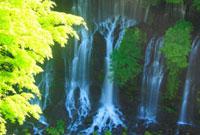 新緑のモミジと白糸の滝