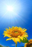 ヒマワリとミツバチと太陽の光芒