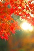 モミジの紅葉と夕日の木もれ日 22320033047| 写真素材・ストックフォト・画像・イラスト素材|アマナイメージズ