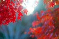モミジの紅葉と夕日の木もれ日 22320033051| 写真素材・ストックフォト・画像・イラスト素材|アマナイメージズ