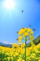白馬連峰など北アルプスと菜の花のアップと菜の花畑とミツバチ 22320033715| 写真素材・ストックフォト・画像・イラスト素材|アマナイメージズ