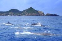 ザトウクジラのメイティングポッドと阿嘉島の黒崎
