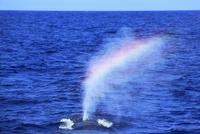 ザトウクジラのレインボーブロウ