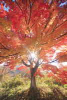 高遠城址公園の紅葉のモミジと午後の木もれ日 22320040782| 写真素材・ストックフォト・画像・イラスト素材|アマナイメージズ