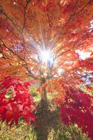 高遠城址公園の紅葉のモミジと午後の木もれ日
