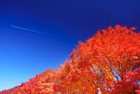 新井のモミジ並木と飛行機雲 22320040797| 写真素材・ストックフォト・画像・イラスト素材|アマナイメージズ