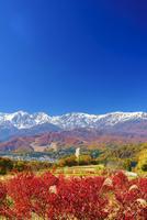 野平の紅葉のブルーベリーとススキと白馬連峰 22320040814| 写真素材・ストックフォト・画像・イラスト素材|アマナイメージズ