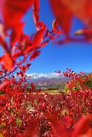 野平の紅葉のブルーベリー越しの白馬連峰