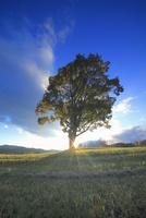 ナラの一本木と夕日の光芒 22320040915| 写真素材・ストックフォト・画像・イラスト素材|アマナイメージズ