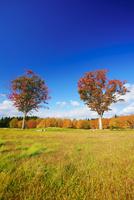 大湯環状列石の紅葉の木立 22320040981| 写真素材・ストックフォト・画像・イラスト素材|アマナイメージズ