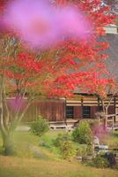 タプコプ創遊村のコスモス越しの古民家 22320041281| 写真素材・ストックフォト・画像・イラスト素材|アマナイメージズ