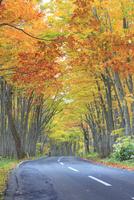 紅葉のブナ林と国道103号 22320041291| 写真素材・ストックフォト・画像・イラスト素材|アマナイメージズ