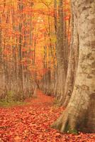 紅葉のブナ林と並木道 22320041295| 写真素材・ストックフォト・画像・イラスト素材|アマナイメージズ