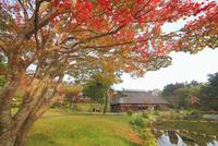 タプコプ創遊村の古民家とモミジの紅葉 22320041313| 写真素材・ストックフォト・画像・イラスト素材|アマナイメージズ