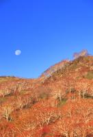 賀老高原のダケカンバ林の紅葉と月 22320041429| 写真素材・ストックフォト・画像・イラスト素材|アマナイメージズ