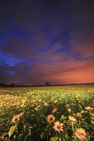 ヒマワリ畑のライトアップと木立 22320041499| 写真素材・ストックフォト・画像・イラスト素材|アマナイメージズ