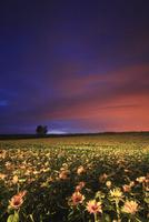 ヒマワリ畑のライトアップと木立 22320041501| 写真素材・ストックフォト・画像・イラスト素材|アマナイメージズ