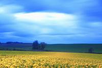 黎明のヒマワリ畑のライトアップと木立 22320041503| 写真素材・ストックフォト・画像・イラスト素材|アマナイメージズ
