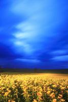 黎明のヒマワリ畑のライトアップと木立 22320041504| 写真素材・ストックフォト・画像・イラスト素材|アマナイメージズ