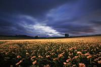 月夜のヒマワリ畑のライトアップと木立 22320041505| 写真素材・ストックフォト・画像・イラスト素材|アマナイメージズ