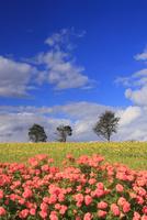 亜斗夢の丘の花畑と木立 22320041540| 写真素材・ストックフォト・画像・イラスト素材|アマナイメージズ