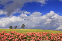 亜斗夢の丘の花畑と木立 22320041541| 写真素材・ストックフォト・画像・イラスト素材|アマナイメージズ