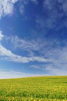 ヒマワリ畑とすじ雲 22320041662  写真素材・ストックフォト・画像・イラスト素材 アマナイメージズ